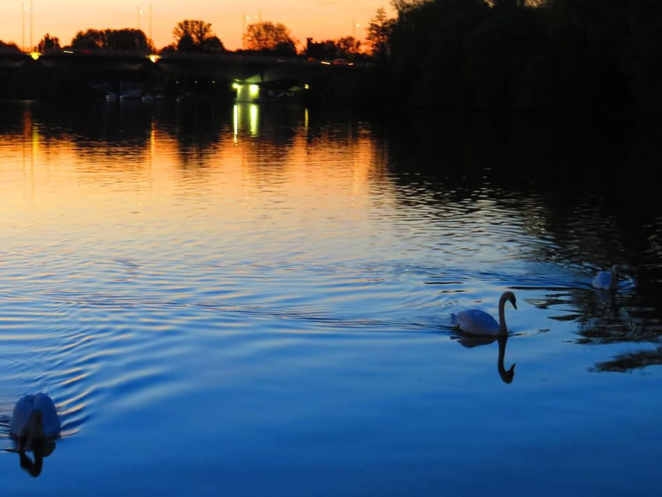 Animal Themes Animals In The Wild Beauty In Nature Bird Evening Atmosphere Lake Main Night Lights Nightphotography Non-urban Scene Offenbach Am Main Reflection Relaxing Moments River Sunset Swans Swimming Tranquil Scene Tranquility Water Water Bird Water Reflections Waterfront Wildlife
