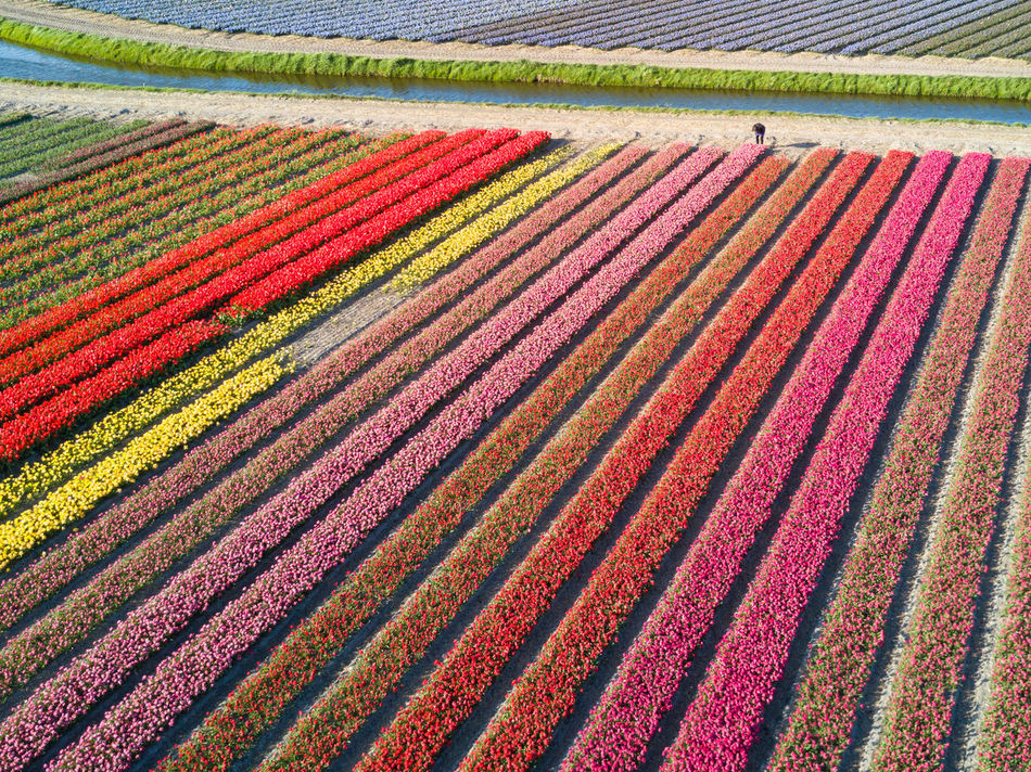 Thousands of tulips and one Lilly Above Agriculture Backgrounds Colors Day Design Drone  Field Flying Freshness Full Frame Holland In A Row Landscape Multi Colored Nature No People Outdoors Parallel Pattern Red Rural Scene Striped Tulips