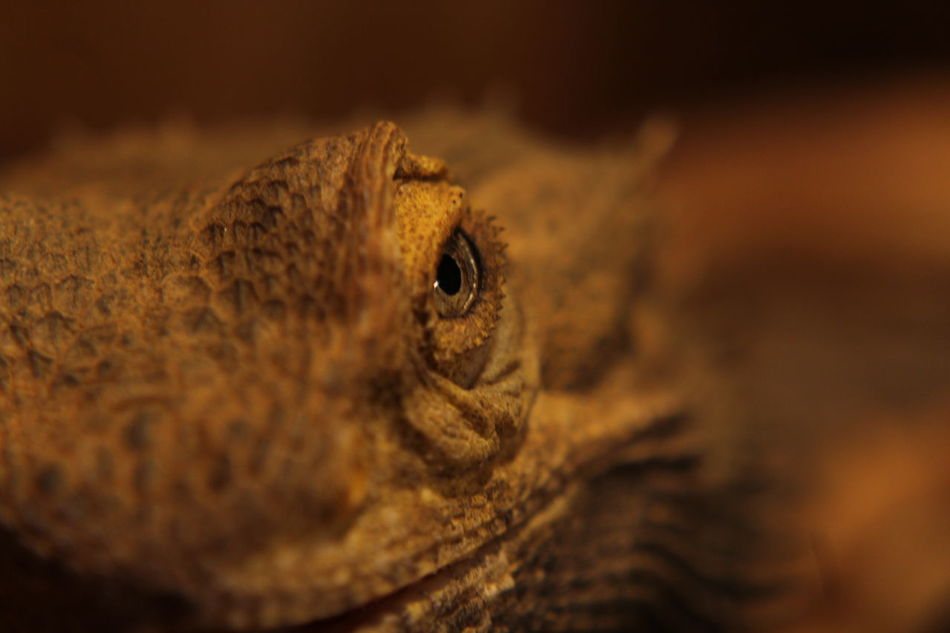 Animal Animal Themes Animals In The Wild Bartagame Bearded Dragon Close Up Close-up Day Echse EyeEm Animal Lover Focus On Foreground No People One Animal Pogona Reptile Reptile Reptile Photography Reptile World Reptilelove Reptiles Selective Focus Showcase: January Spikey Terrarium Art Is Everywhere