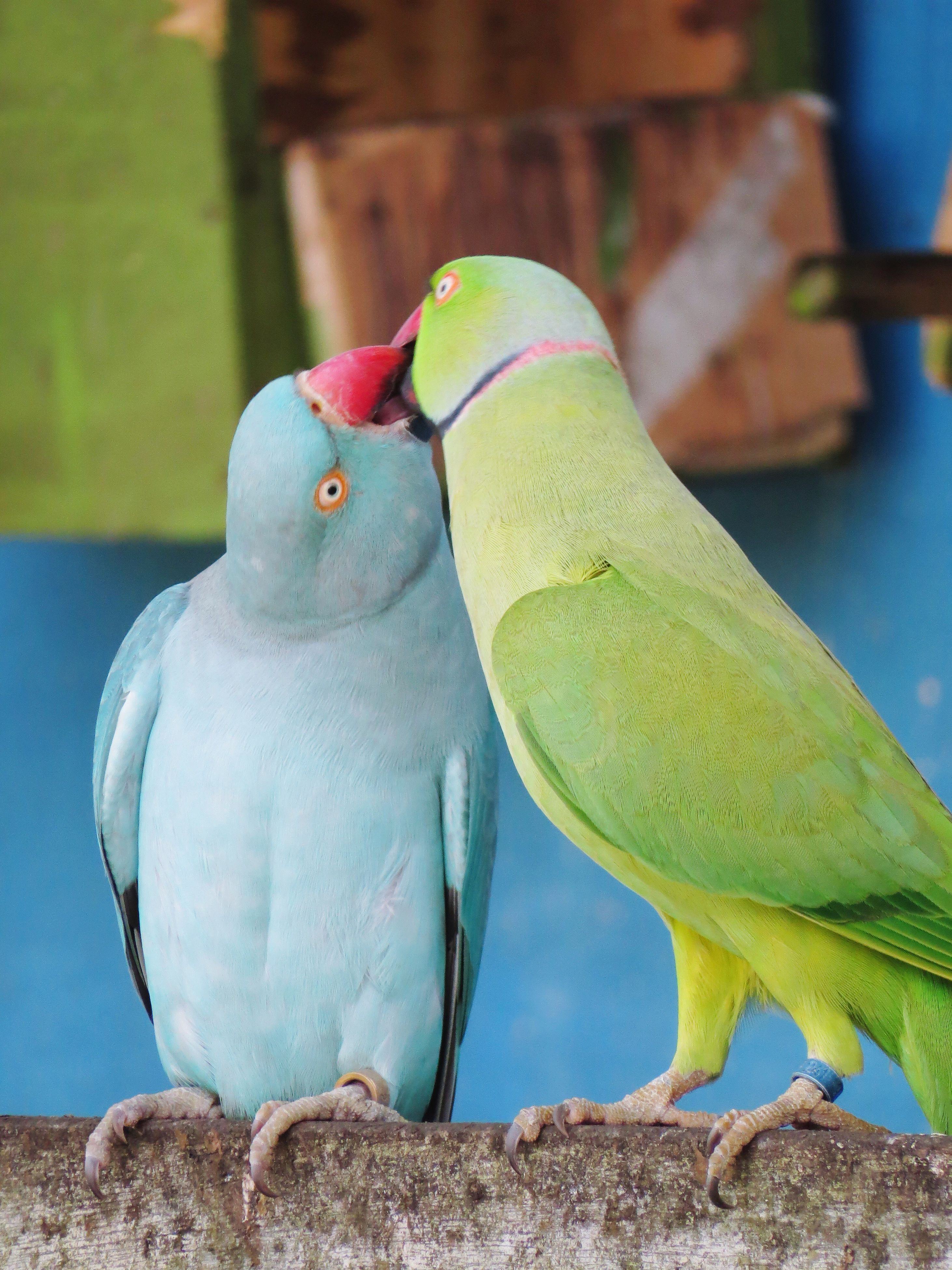 bird, animals in the wild, animal themes, perching, animal wildlife, day, nature, focus on foreground, no people, green color, outdoors, togetherness, parrot, close-up