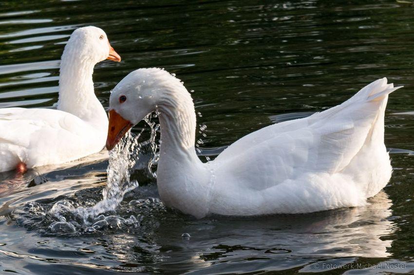Bird Water Swimming Goose Lake Animal Nature