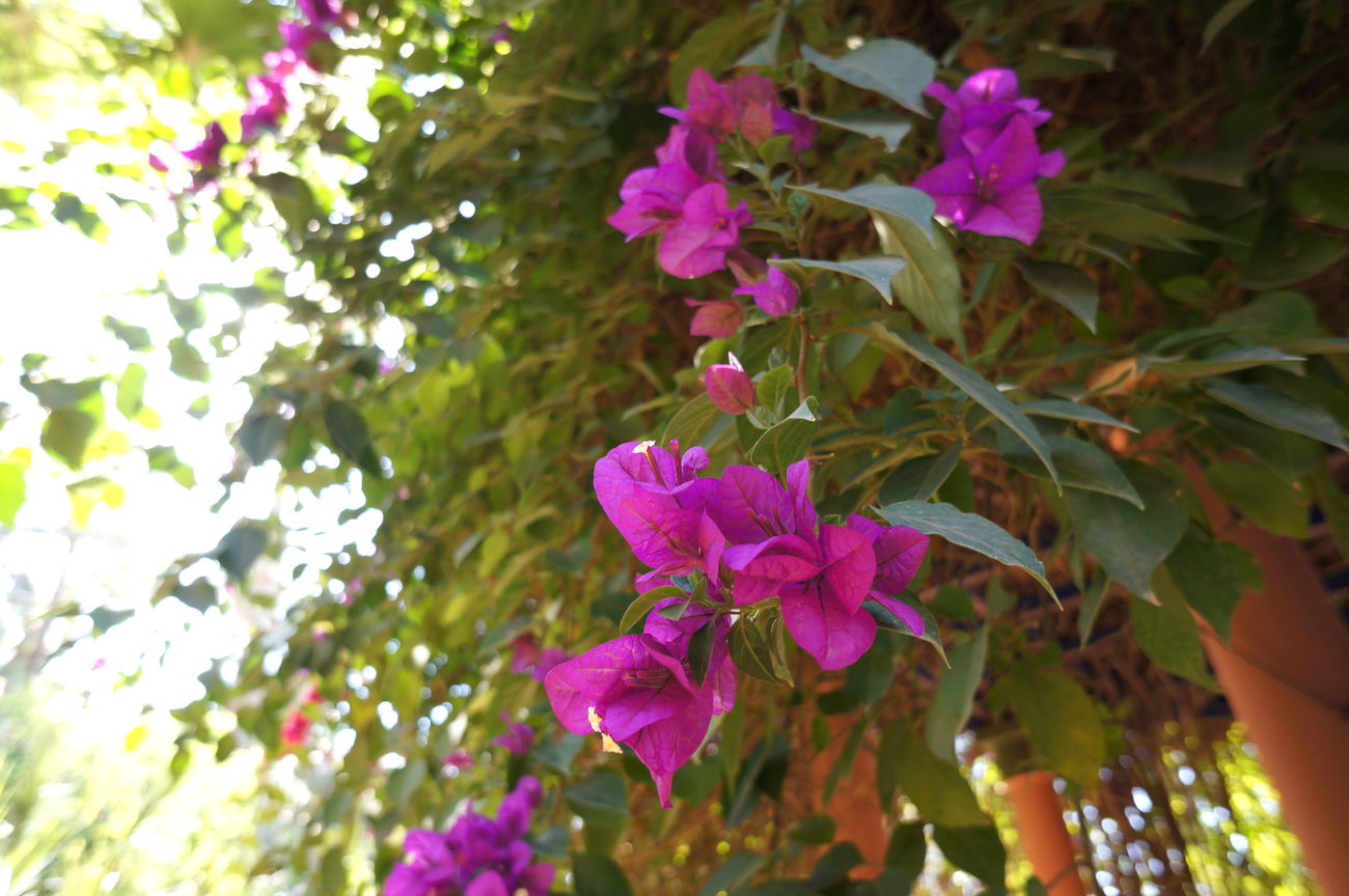 Blooming Bougainvillea Flower Marrakech Morocco Nature Pink Pink Flower Plant Summer First Eyeem Photo