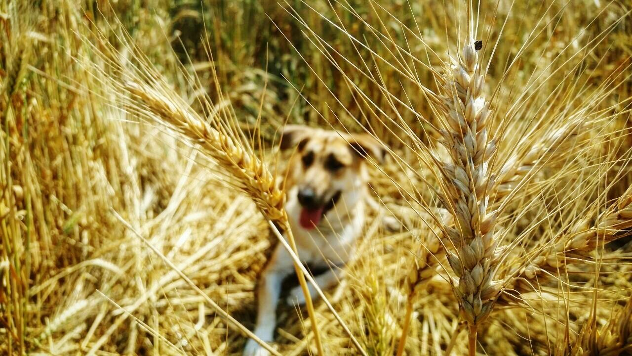 One Animal Nature Animal Themes Growth Outdoors Day No People Plant Beauty In Nature Dog Feild Wheat Wheat Field Yellow Yellow Color The Great Outdoors - 2017 EyeEm Awards EyeEmNewHere Live For The Story The Great Outdoors - 2017 EyeEm Awards The Great Outdoors - 2017 EyeEm Awards Place Of Heart