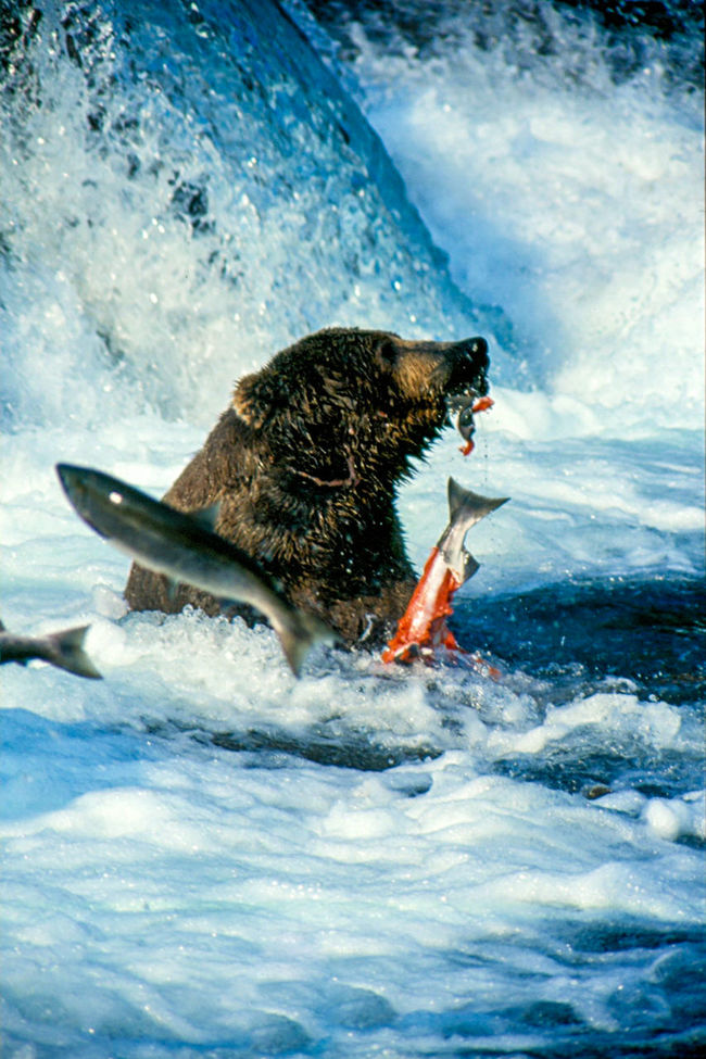 Alaska adventures! Alaska Animal Body Part Aquatic Mammal Bear Beauty In Nature Brooks Falls Close-up Day Dolphin Fishing Glacier Lunch Motion Nature No People Outdoors Part Of Salmon Sushi Water Waterfall Wilderness Wildlife