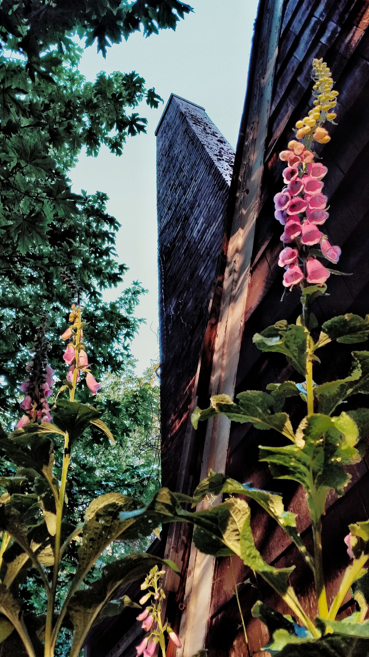 Foxglove and Chimney Foxglove Chimney Fine Art Photography Wildflower Flower Photography Flowerpower EyeEm Flower Afternoon Light Light And Shadow Olympic Peninsula