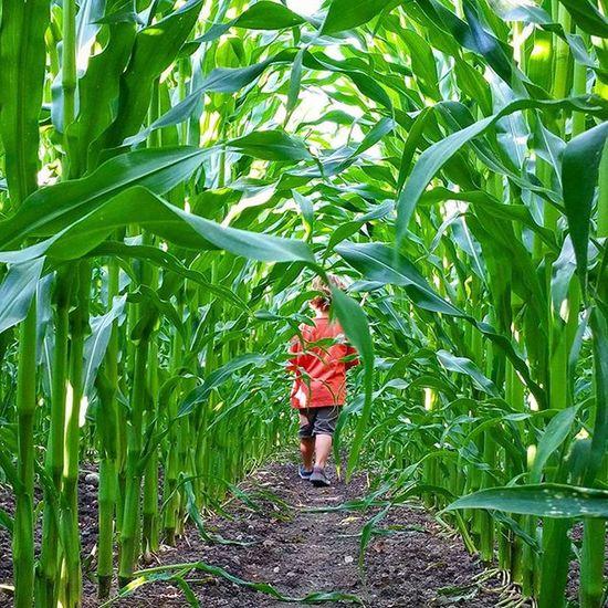 Into the wild... eh, cornfield! 🌽🌽🌽🌽 Cornfield Nature Naturegram Nofilter Picoftheday Summer Summertime Sommer Maisfeld Kids