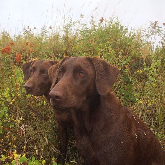 Bird dogs Grass Pets Dog Domestic Animals Mammal Outdoors No People Animal Themes Retriever Day Nature