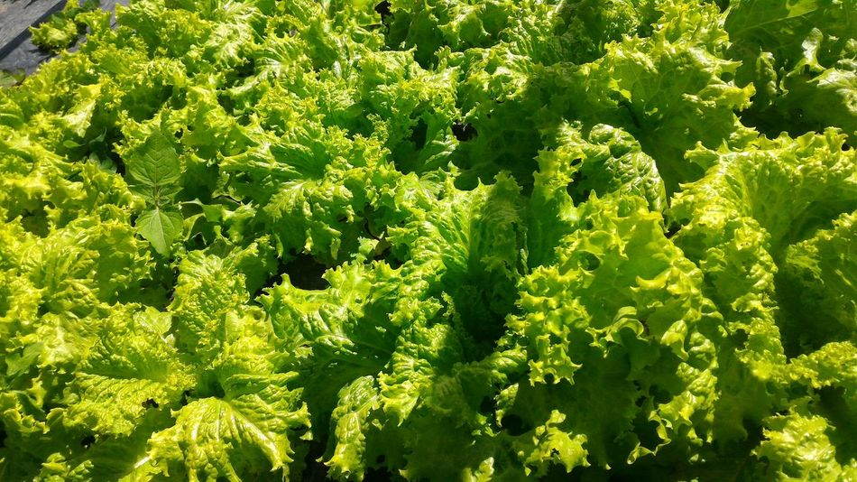 Green fresh lettuce Nofilter Green Color Nature Healthy Eating Beauty In Nature Freshness Close-up Growth Day Outdoors No People Healthy Lettuce Fresh Planted Stillonstalk Farmtotable