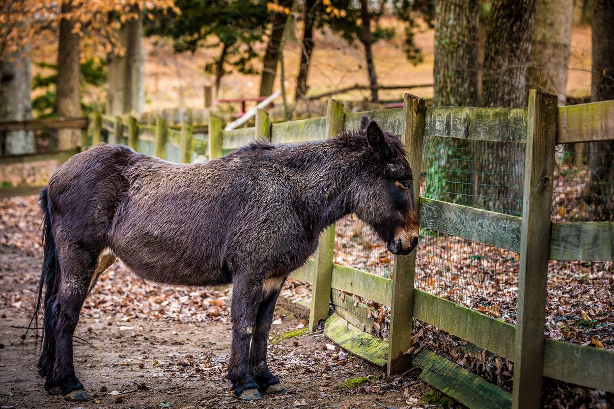 Animal Themes Barn Day Domestic Animals Don Donkey Donkeys Farm Animals Fense Golet Mammal Nature No People One Animal Outdoors