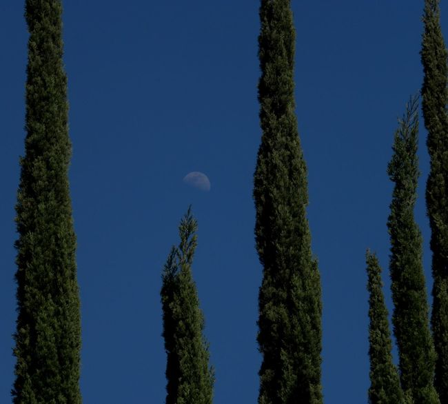 Taking Photos Tree Trees Moon And Sky Trees And Moon Daytime Moon Moon California Outdoors Daytime No People Sky Clear Sky Trees And Sky Color Photography Blue Skies Blue Sky Nature Green Trees Trees Showcase July