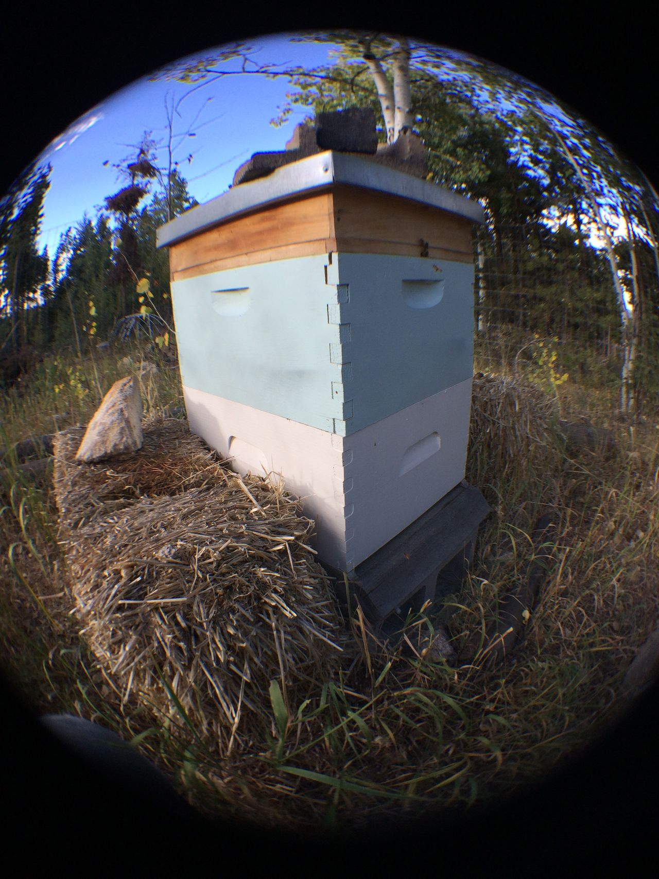 Fisheye beehive. One hard worker coming home. Rocky Mountains Bees Fall Time