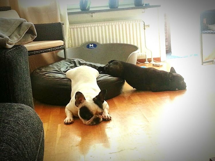 Just another day in my frenchies life ?? FUNNY ANIMALS Funny Pics Cute♡ Frenchie French Bulldog My French Bulldog <3 Cute Pets Sleeping Dog Dogstagram Dog Love