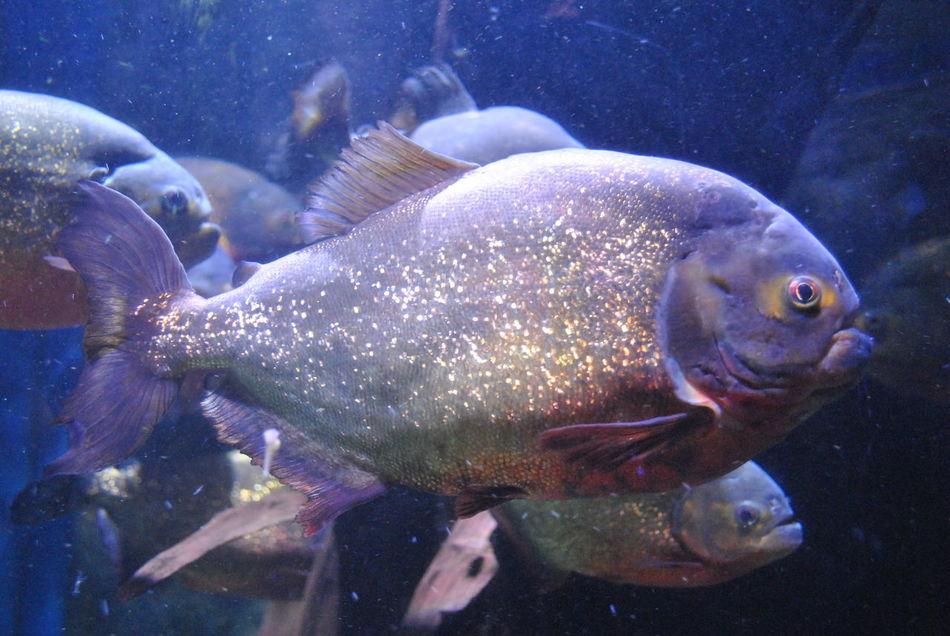 Animal Themes Aquarium Beauty In Nature Close-up Day Fish Nature No People Outdoors Piranhas Sea Sea Life Swimming UnderSea Underwater