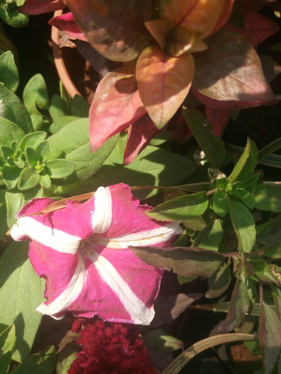 flower, leaf, growth, pink color, petal, beauty in nature, nature, fragility, plant, freshness, outdoors, no people, flower head, day, close-up, blooming, periwinkle, petunia