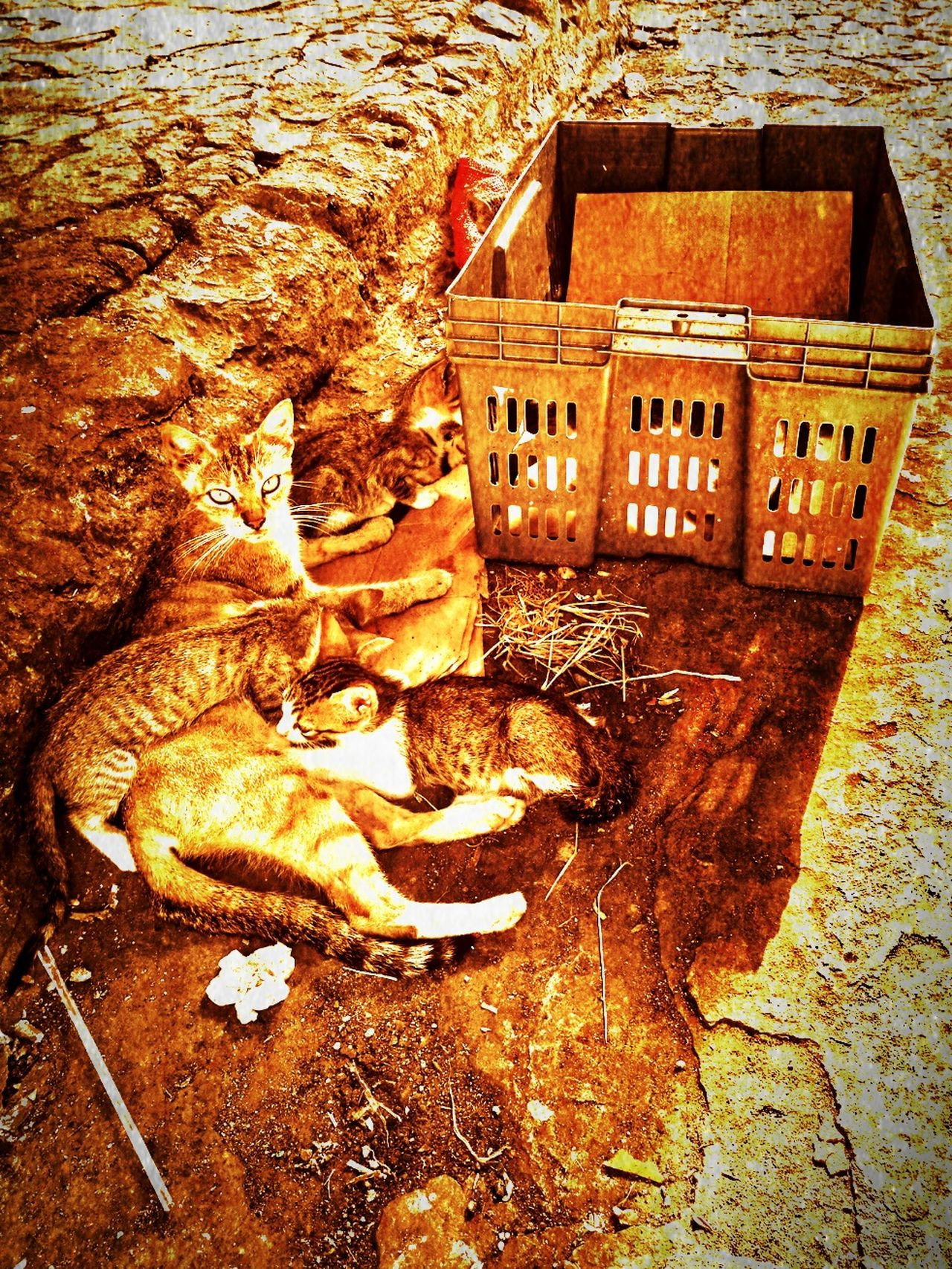 Seven kittens and mom. Bygone Wet Plate Bygone Times Sepia Nostalgia Beauty In Nature Eyem Best Shots