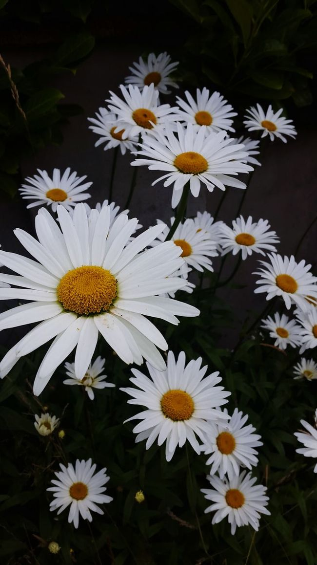 """""""I will be the gladdest thing under the sun. I will touch a hundred flowers and not pick one"""" Daisy Irishsummer 💜"""