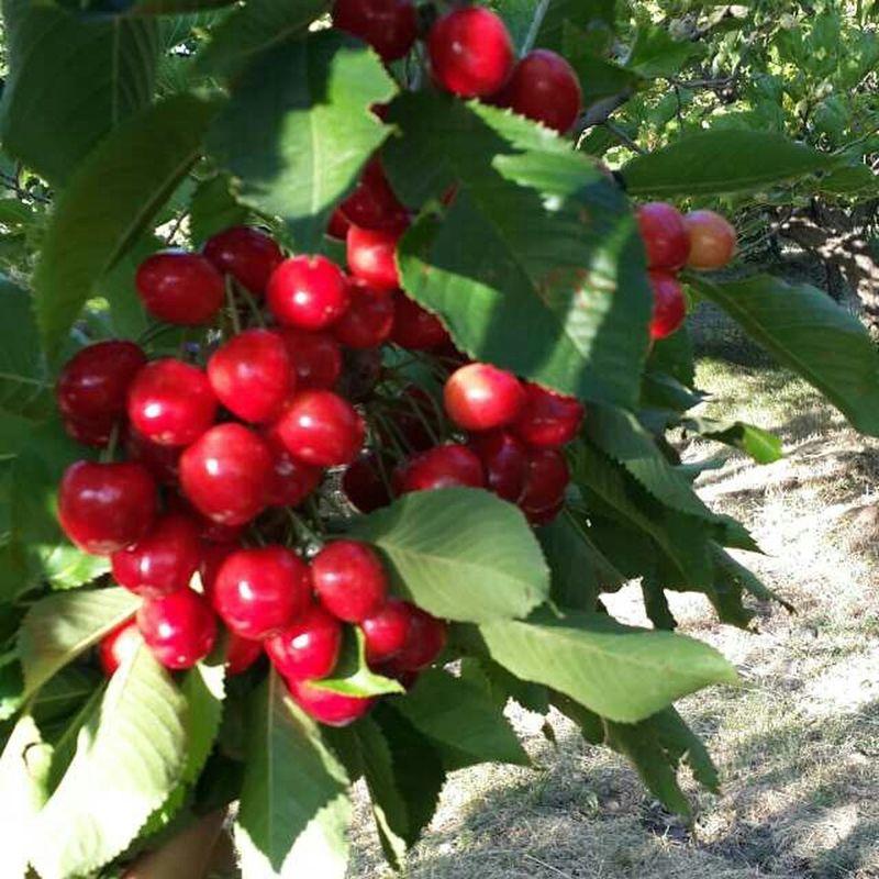 Meyva Kiraz Kirmizi Turkiyem Malatya Bahce