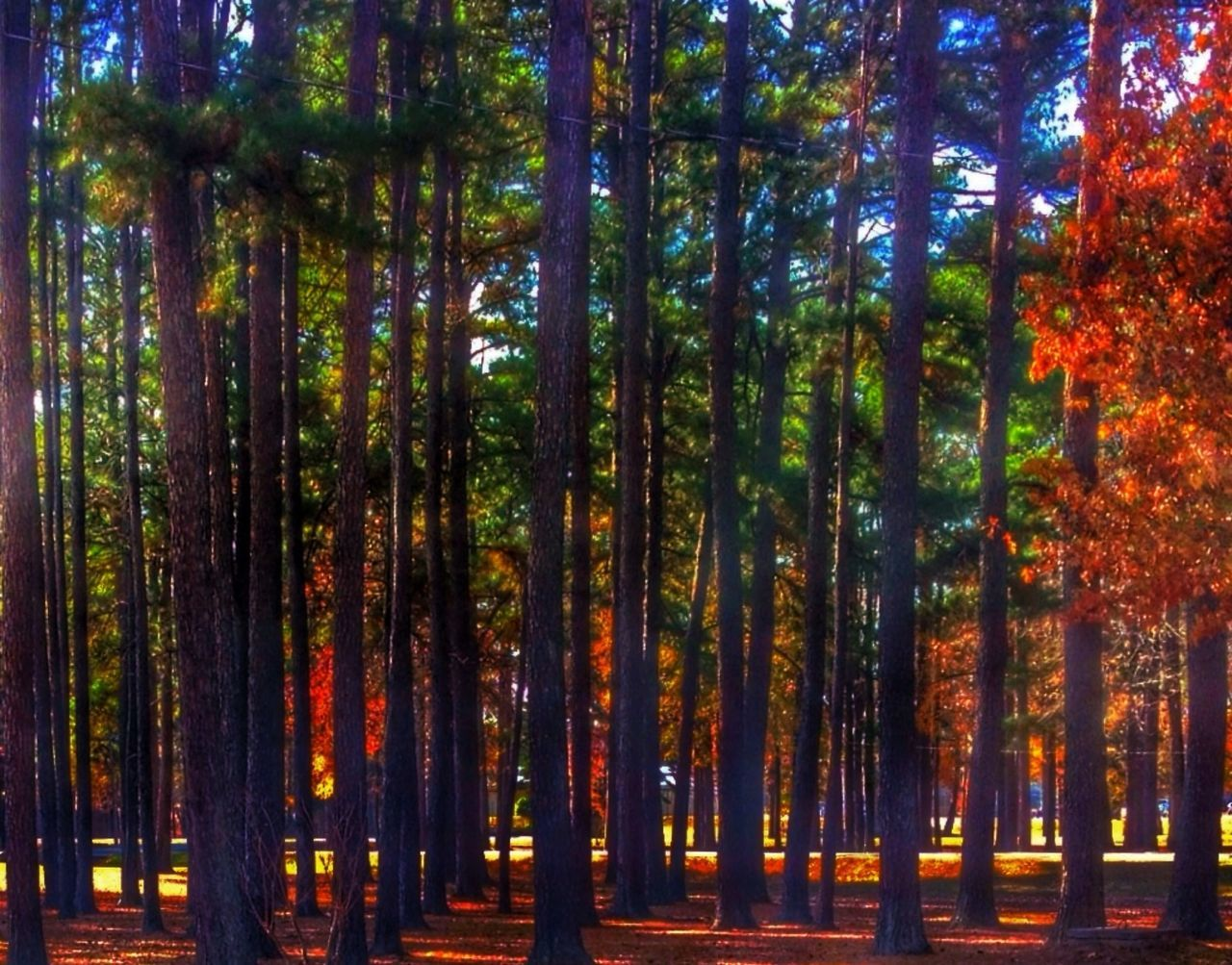 Pine Trees Alphabetography Trees Hugging A Tree Park Grove Nature Landscape Nature Nature_collection