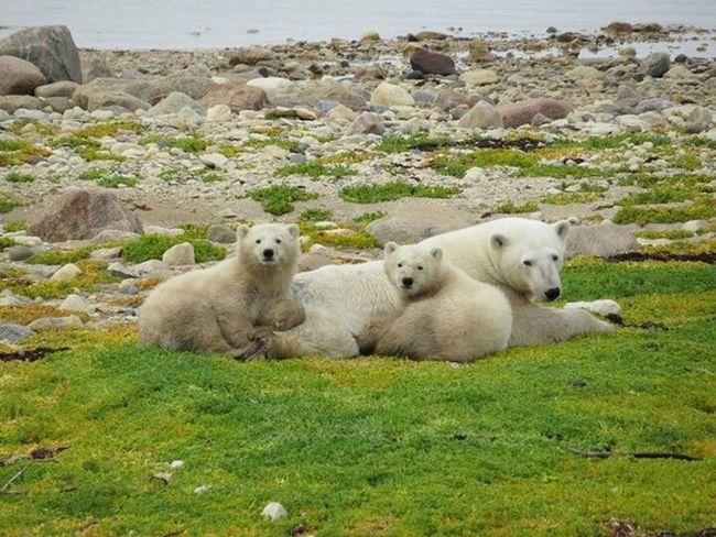 Family photo Polar Bears Hudson Bay Northern Manitoba