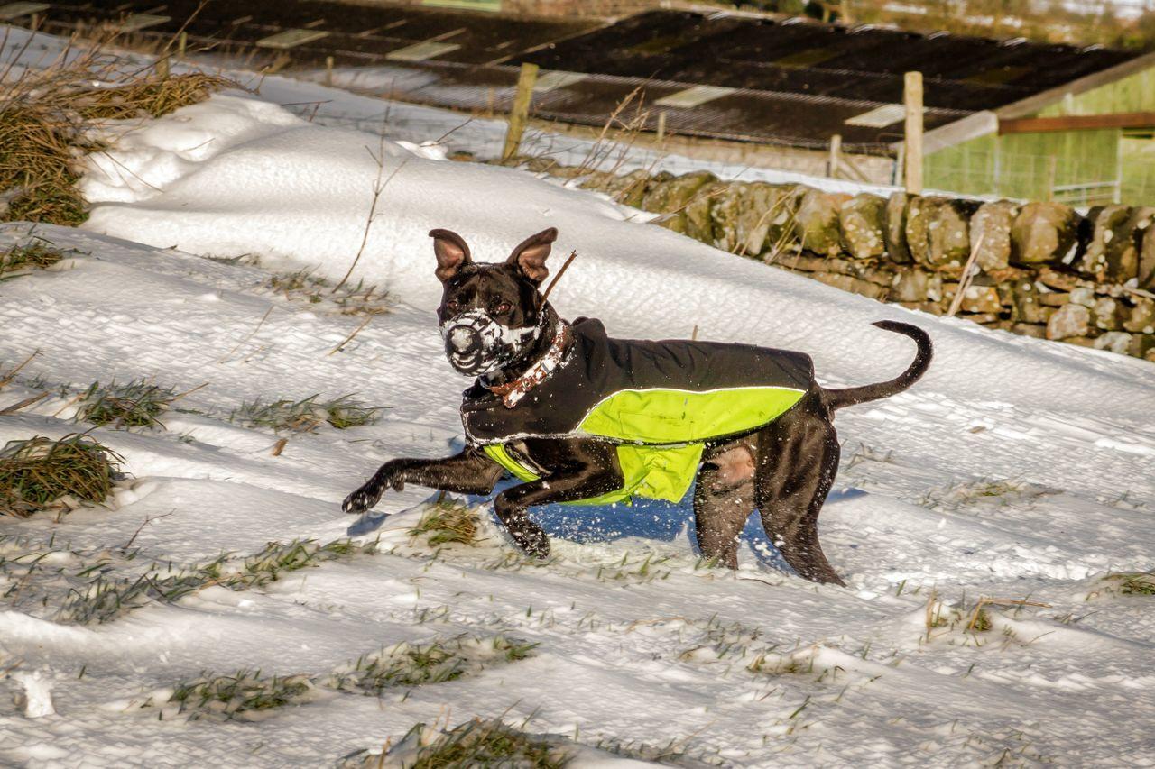 Staffordshire Bull Terrier Running On Snowy Field