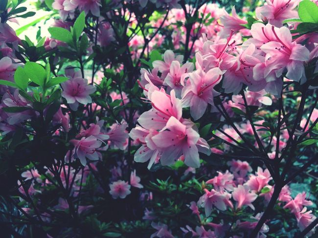 Flowers Blossoms  Blooming Nature Pink