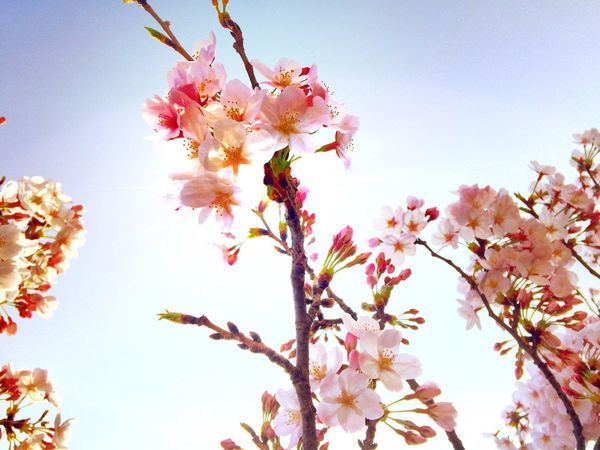 EyeEm Tokyo Meetup 8 Cherry Blossoms Sakura Flowers Flowerporn Spring Nature Nature_collection EyeEm Nature Lover Spring Report