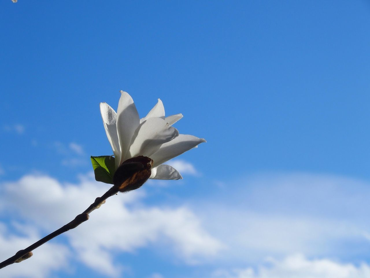 Beautiful stock photos of magnolia, Beauty In Nature, Blooming, Blue, Cloud - Sky