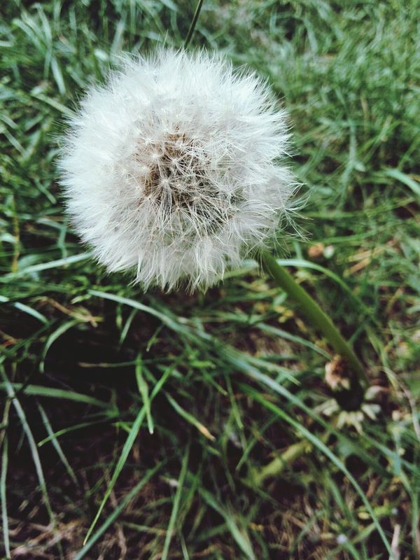 Dandelion Nature Grass gra