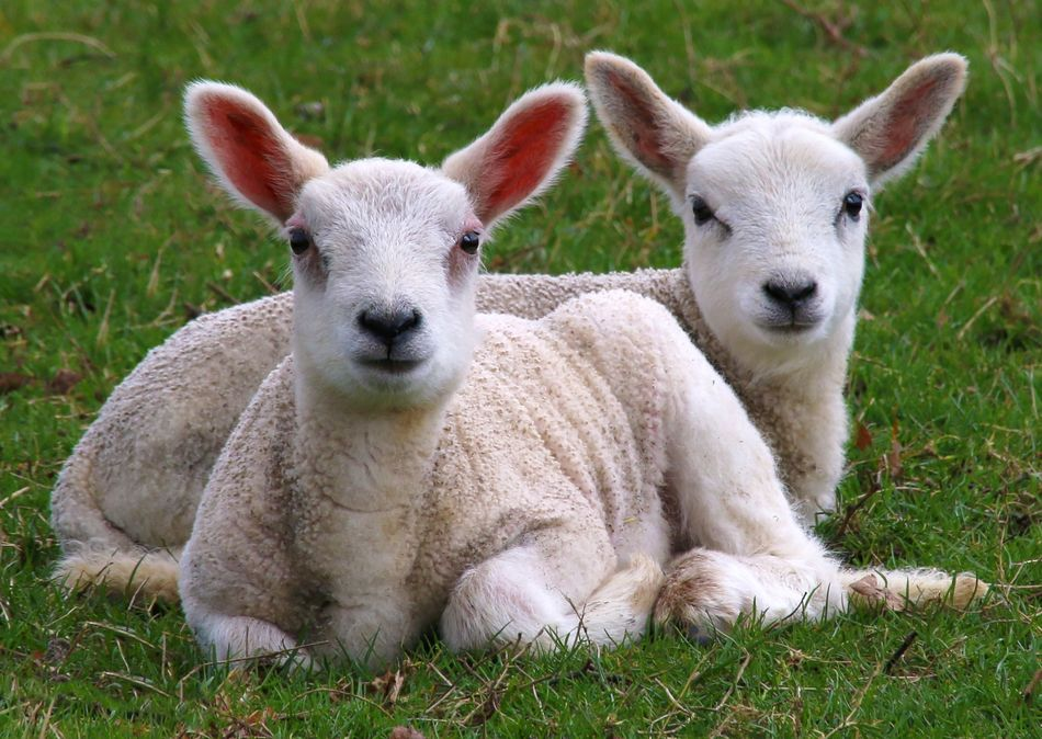 Spring Lambs Animal Themes Close-up Cute Day Domestic Animals Grass Lamb Livestock Looking At Camera Mammal No People Outdoors Portrait Sheep Togetherness Young Animal