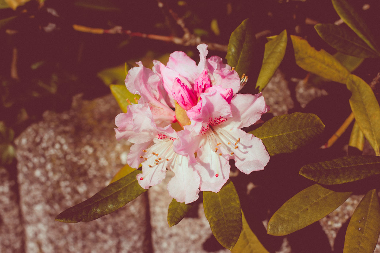 Blossom in the garden Beauty In Nature Blossom Close-up Day Flower Flower Head Fragility Freshness Garden Growth Nature No People Outdoors Petal Pink Color Plant Plum Blossom Pollen Rhododendron Stamen