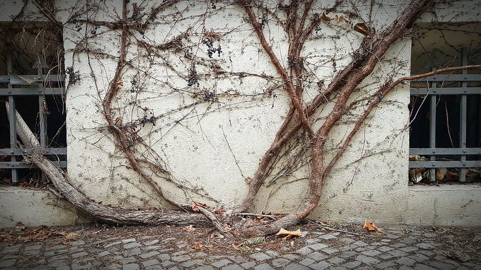 Wildwuchs Grapevine Tree No People Day Outdoors Close-up Built Structure Building Exterior Architecture Nature Urban Photography City Street Street Photography City Urban EyeEm Gallery EyeEm Best Shots EyeEm Team Detail Berrys