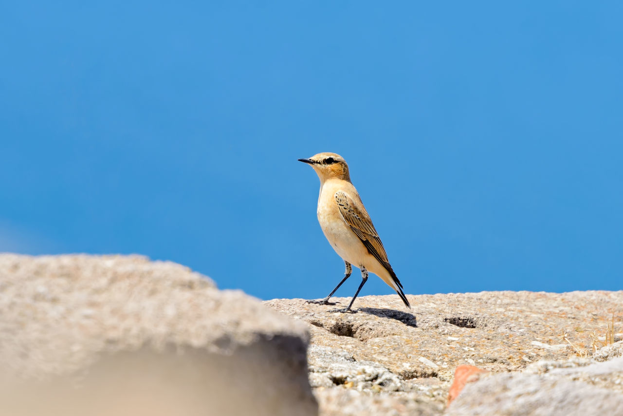 Bird Isabelline Wheatear in Greece Animal Themes Animal Wildlife Animals In The Wild Beauty In Nature Bird Birds Blue Clear Sky Close-up Feathering Greece Isabell-Steinschmätzer Isabelline Wheatear Muscicapa Nature Oenanthe Old World Flycatchers Outdoors Passeri Passerine Bird Plumage Sky Songbird  Wheatears