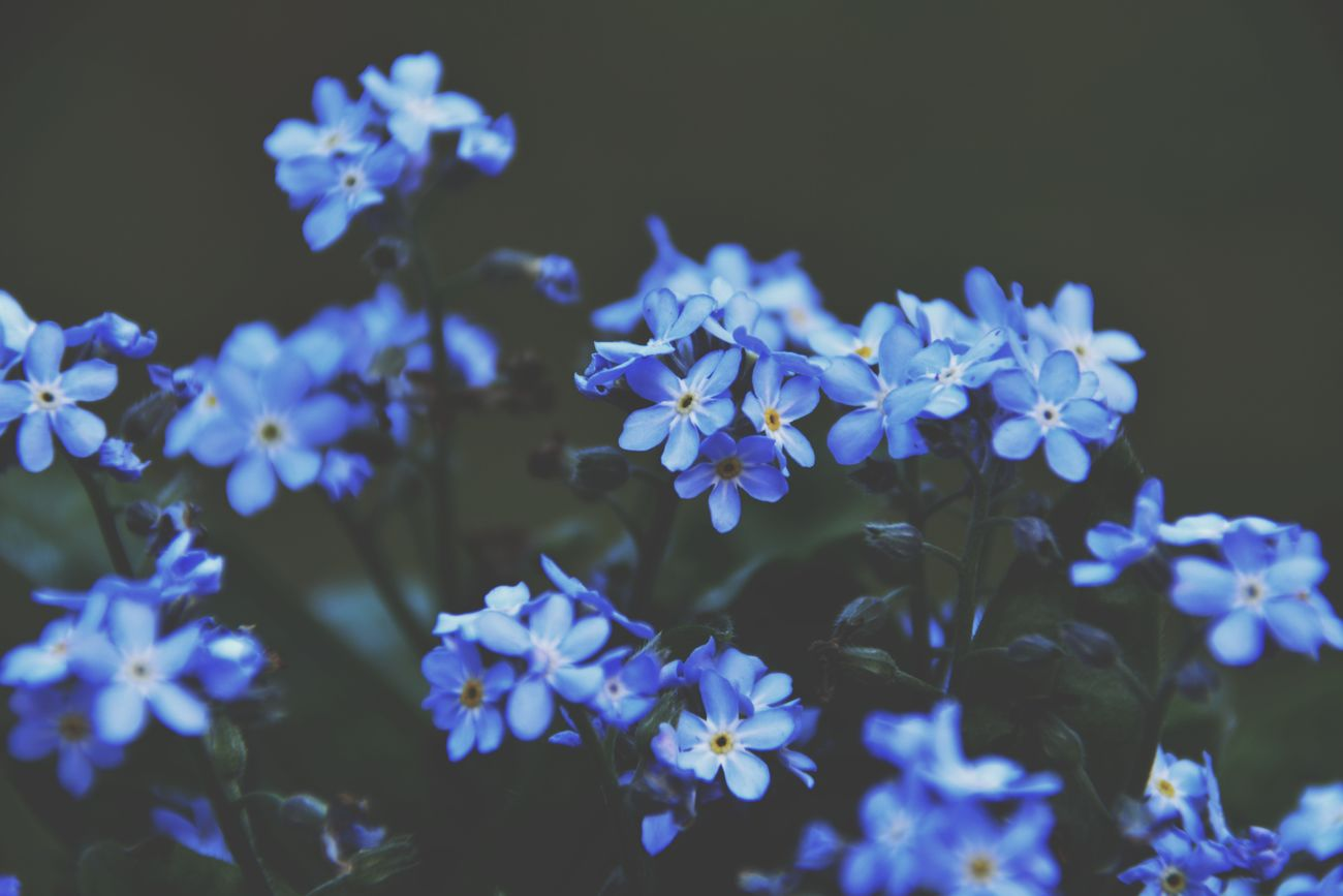 It's so busy at work lately that I barely had the time to even open EyeEm 😪 I hope to be back soon 🤗 In the meantime, have a lovely Sunday and a wonderful new week! Flower Beauty In Nature Nature Plant Close-up Growth Outdoors Blue Forget Me Not Forget Me Nots Flowers