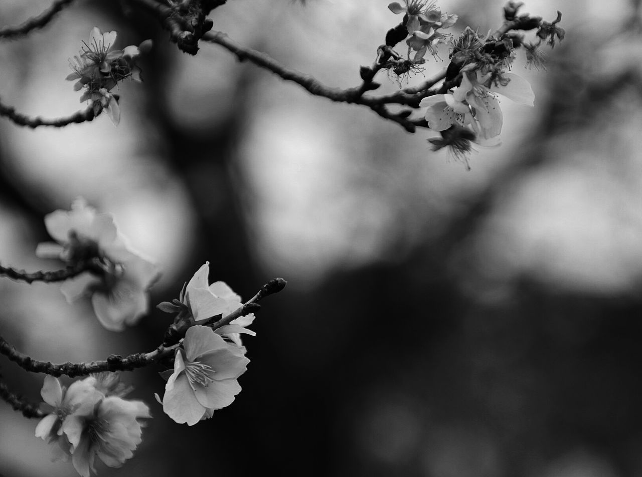 flower, beauty in nature, fragility, nature, petal, growth, branch, freshness, twig, flower head, blossom, close-up, focus on foreground, day, outdoors, no people, tree, blooming, springtime, plum blossom, plant