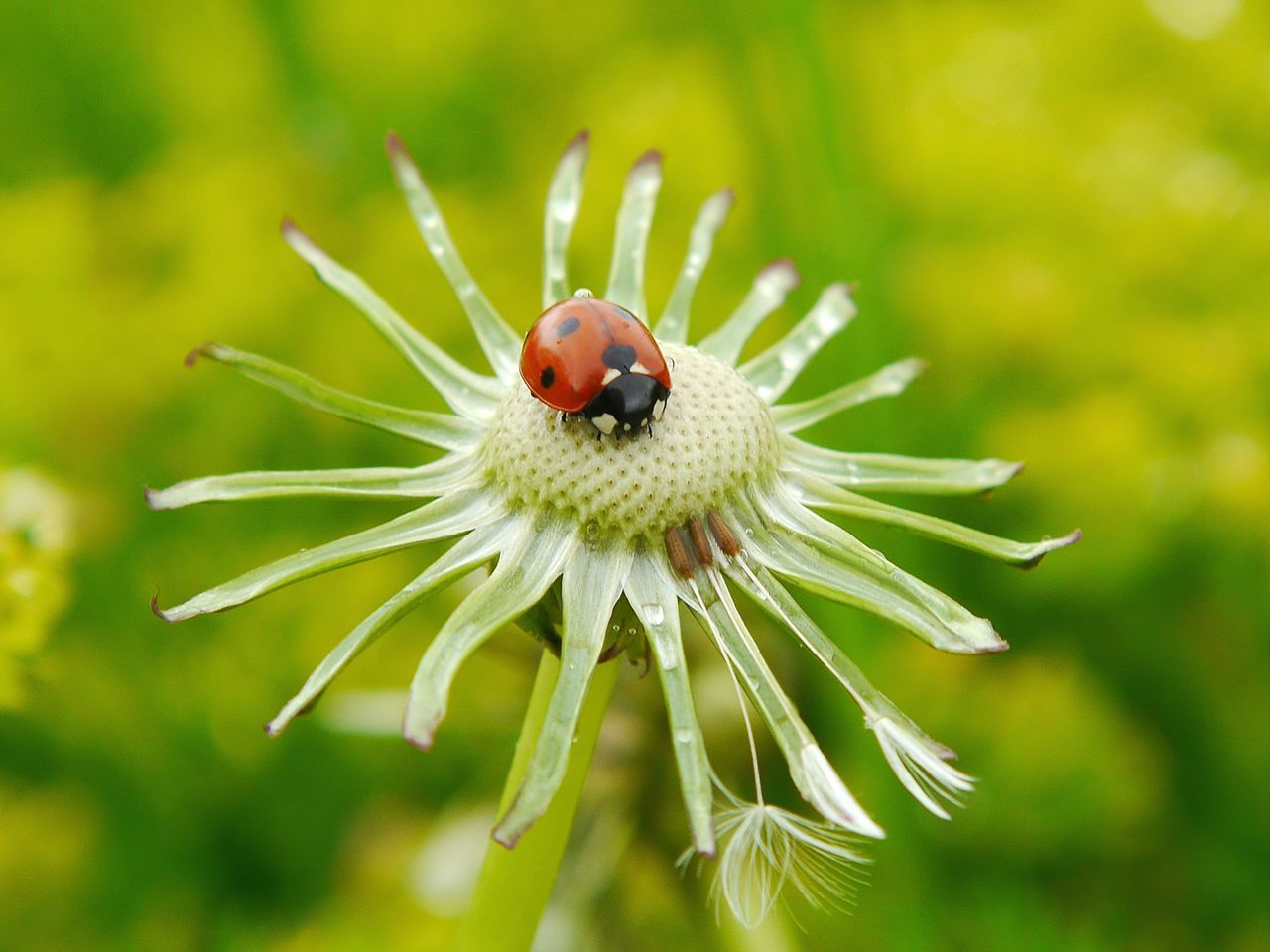 Little ladybug... Flower Nature Insect Plant Close-up Animal Wildlife One Animal Social Issues Uncultivated Focus On Foreground Animals In The Wild Outdoors No People Fragility Day Springtime Green Color Closing Multi Colored Flower Head