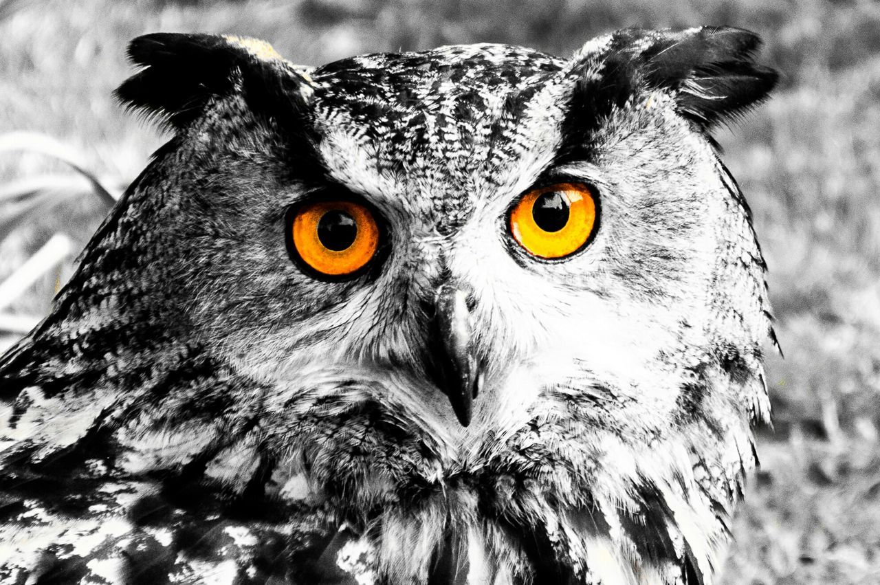 Watching Owl Bird Stare Colorsplash