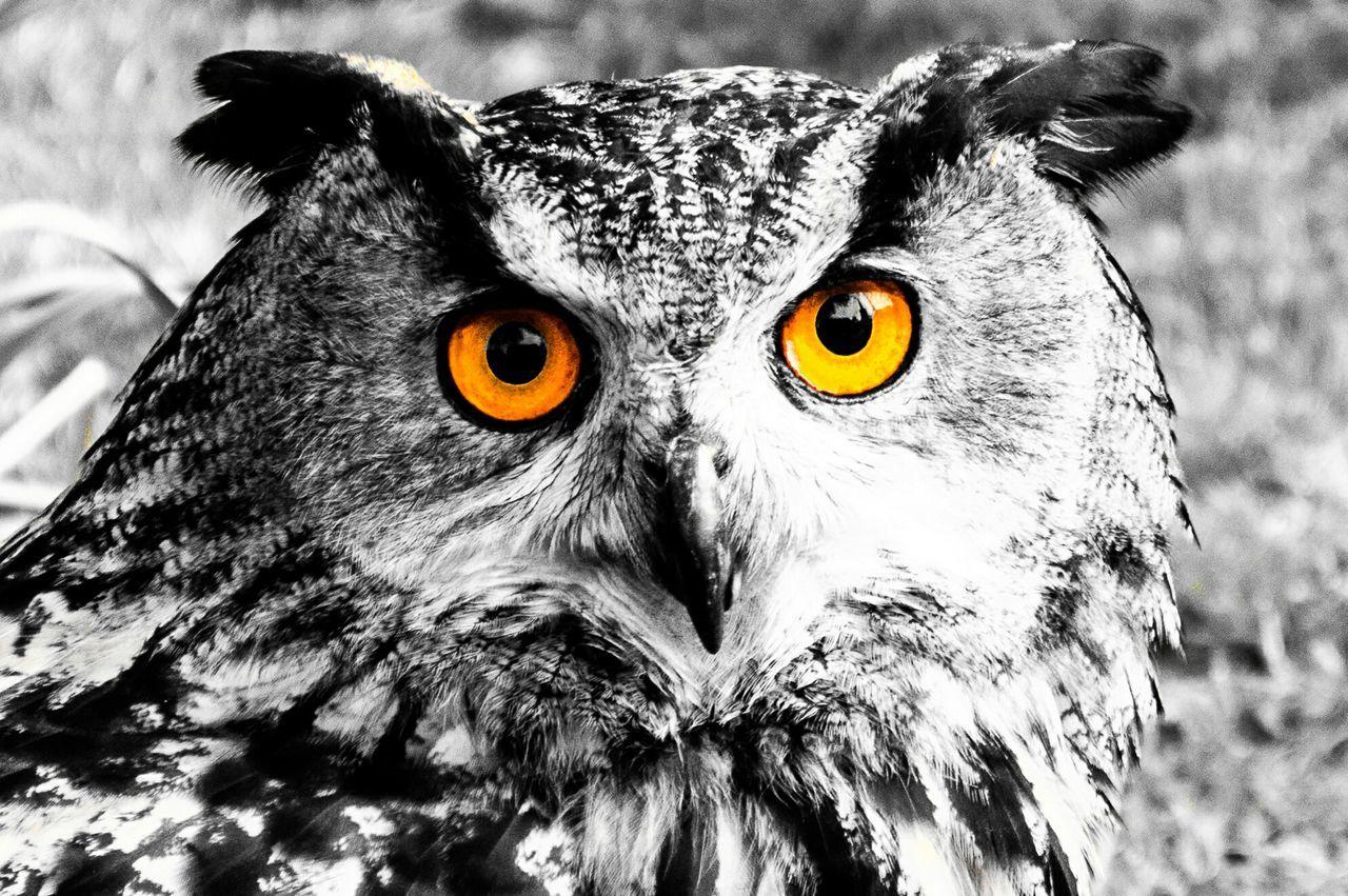 Watching Owl Bird Stare Colorsplash