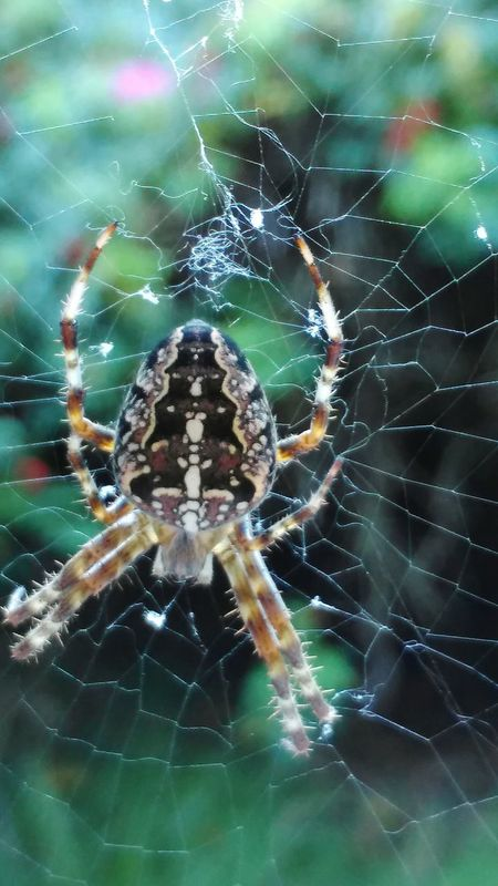 Spider Web Animal Themes Spider One Animal Animals In The Wild Close-up Wildlife Insect Spinning Natural Pattern Survival Focus On Foreground Web Nature Fragility Day Outdoors Full Frame Multi Colored Complexity Henne Strand Dänemark 2016😍 Eyeem Photography My Favourite Place
