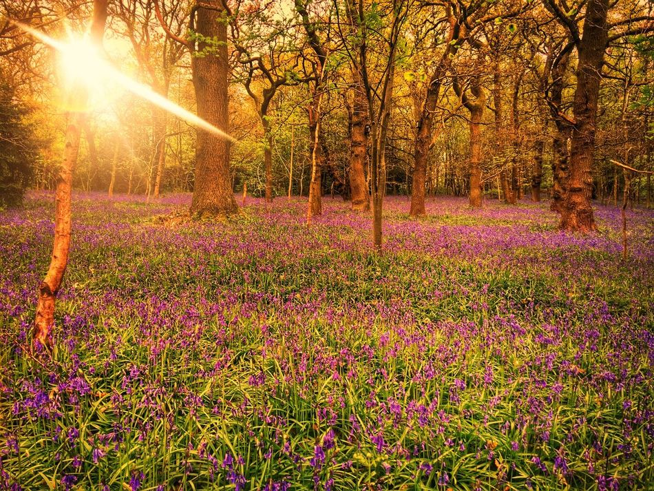 Out Of The Blue... Bluebells Bluebell Wood Flower Nature Beauty In Nature Purple Sun Bluebell Woods