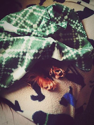 Animal Themes One Animal Pets Mammal Domestic Animals Indoors  No People Close-up Nature Day Puppy Paws  Under Blanket Sleeping