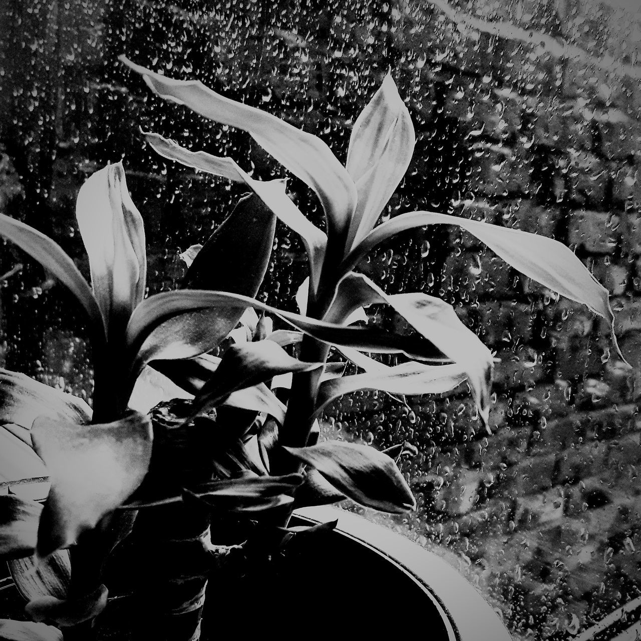 Throughthewindow Raindrops Littleplant Blackandwhitemood Rainymood Beauty In Nature Black And White Photography ...
