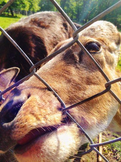 Damwild Deer Fence Zoo Animals Fallow Deer Chewing