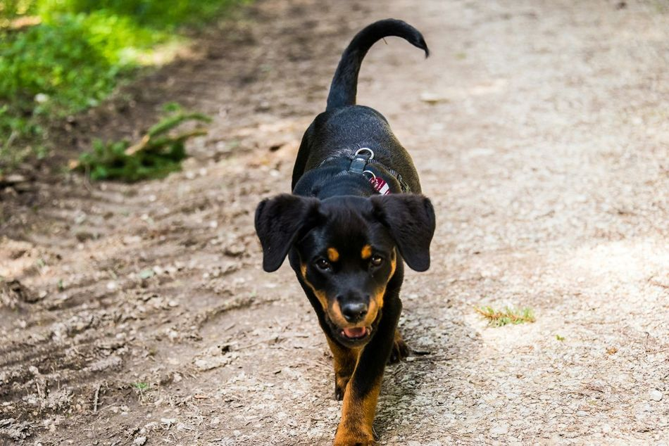 Beautiful stock photos of rottweiler, , Germany, Horizontal Image, Tuttlingen