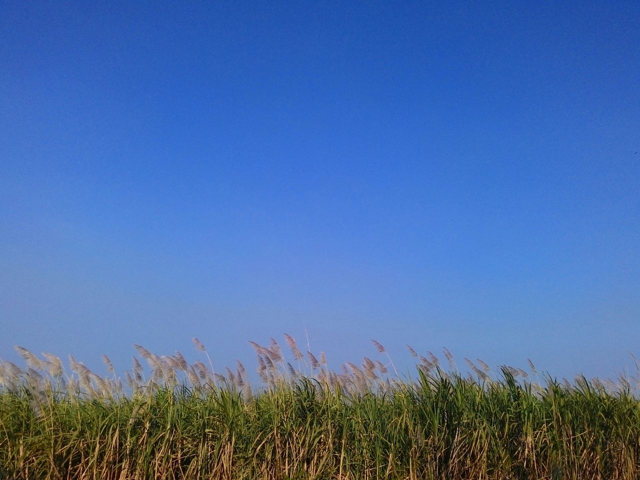 Growth Plant Nature Crop  Field Blue No People Outdoors Springtime Day Tranquility Agriculture Flower Rural Scene Sky Clear Sky Landscape Beauty In Nature Fragility Beauty Sugar Cane Reeds Reed - Grass Family Copy Space