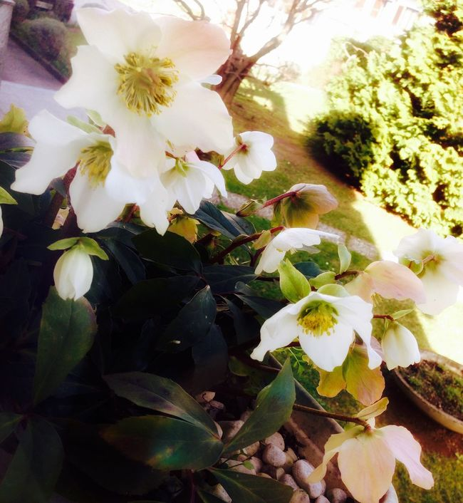 Helleborus Nature Photography Nature Green Flowers White&green March 2016 WOW Macro