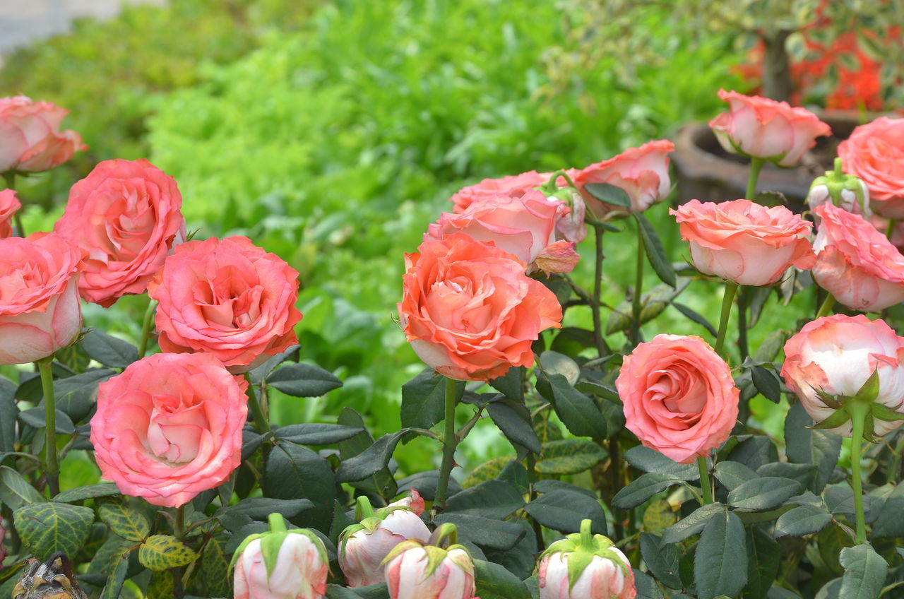 Rose🌹 Roses, Flowers, Nature, Garden, Bouquet, Love, Roses Flowers