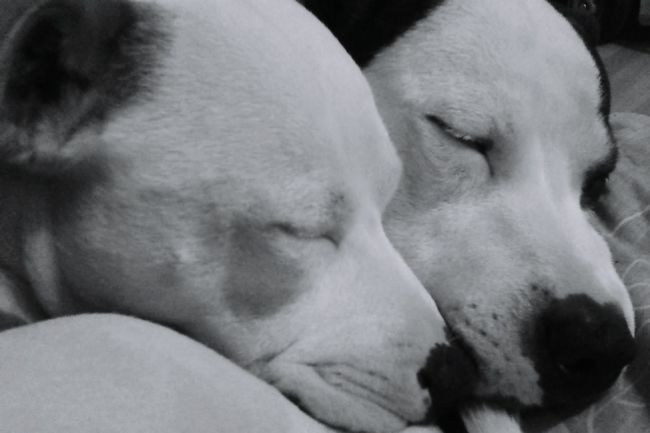 Father & Son Daddy And Son Staffy Staffylovers Staffysmile Staffygram Staffysofinstagram Staffyuk Staffordshire Bull Terrier Staffyoftheday Animal Themes One Animal Domestic Animals Close-up Pets Dog Animal Head  Mammal Young Animal Relaxation Animal Nose No People Blackandwhite