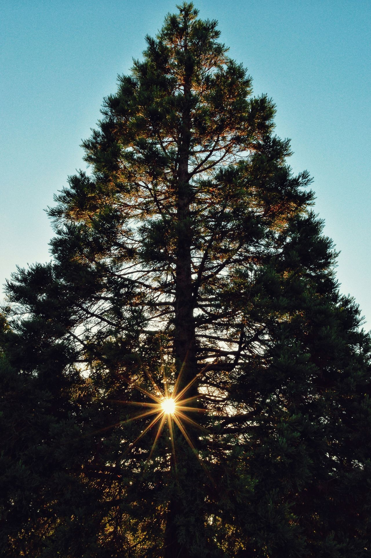 stand tall and shine 🙌🙋🙋🙌🐝 Tree Sunset Silhouettes Sun Shining Through The Trees Tall Trees Minimalism Kiwi Clicker Tadaa Community Conifer  Check This Out From My Point Of View Lookingup EyeEm Nature Lover Eye4photography  Showcase: February Getting Inspired Hello World Photography Today's Hot Look TreePorn Nature Good Morning EyeEm Best Shots Nature Photography EyeEm Best Edits Levin