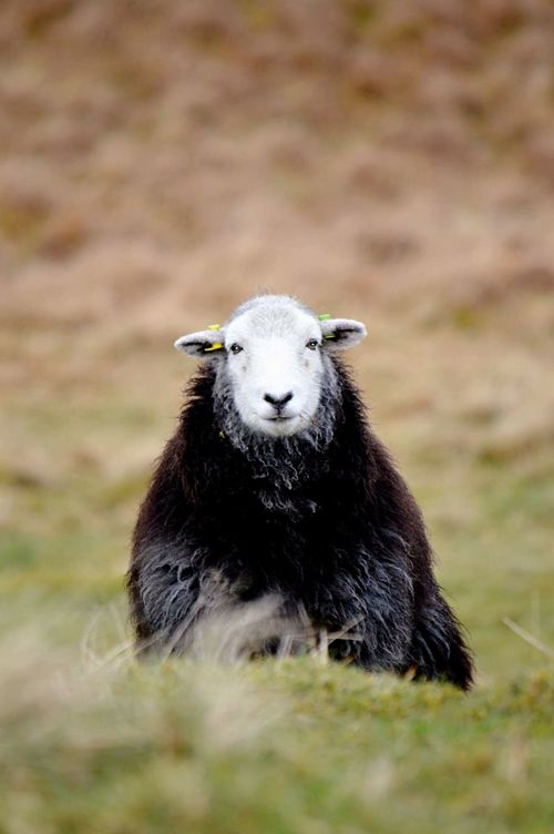 Animal Themes Field Outdoors Grass Mammal One Animal Nature No People Beauty In Nature Portrait Day Sheep English Countryside Lakedistrictnationalpark Coniston Water Close-up Animals Wooly