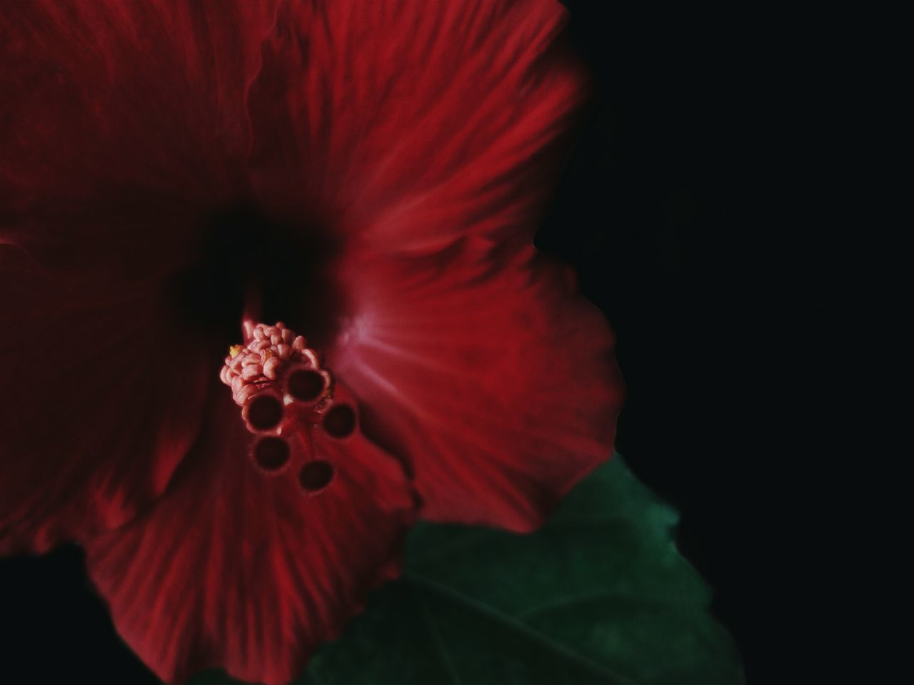 flower, petal, fragility, flower head, beauty in nature, growth, nature, close-up, freshness, no people, red, hibiscus, outdoors, day